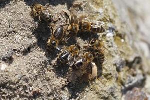 bijen drinken water foto