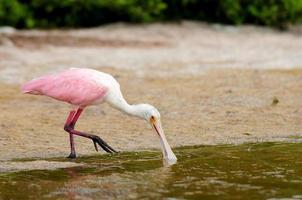 roze lepelaar drinkwater foto