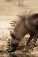 bruine hyena drinken foto