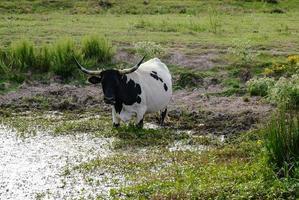 longhorn koe drinkwater foto