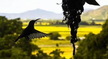 sunbird die zijn nest bouwt foto