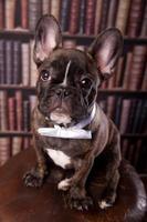 Franse bulldog pup met nek boog foto