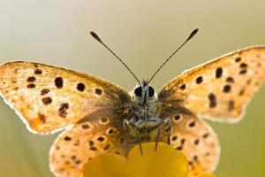 verlichte roetige koperen vlinder foto