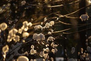 sneeuw op takken foto