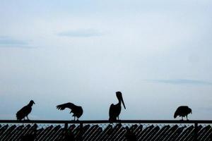 de schaduwen van pelikanen foto