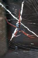 st. andrew's cross spider, kimberley region, western australia foto