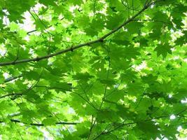 heldergroene esdoornbladeren van onderen