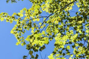 verlichte bladeren. foto