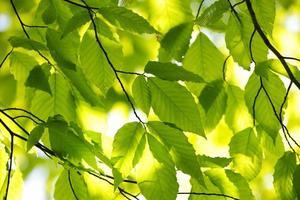 groene lentebladeren foto