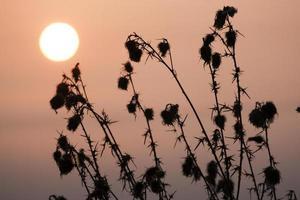 het silhouet van dode distels met zon
