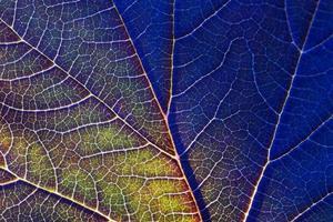 kleurrijk blauw, blad