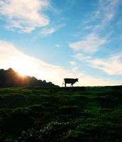 silhouet van een koe voor een prachtige zonsondergang foto