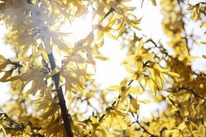 bloeiende forsythia (forsythia intermedia) foto