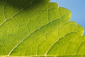 wijnstok blad