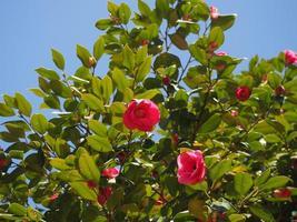 camellia bladeren zijn transparant in zonlicht foto