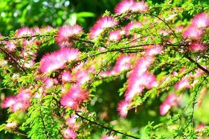 zijdeboom bloesem met prachtige rode bloemen
