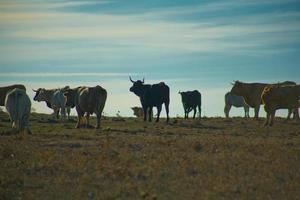 grazende koeien bij zonsondergang foto
