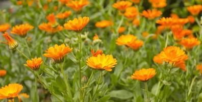 massa's goudsbloemen om je dag op te vrolijken foto
