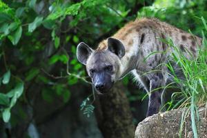 spot hyena die je van aangezicht tot aangezicht bekijkt foto