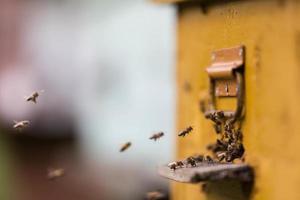 honingbijen die rond hun bijenkorf vliegen foto