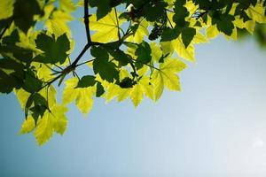 lente esdoorn bladeren foto