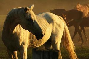 paarden in stof foto