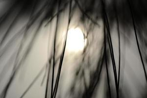 silhouet van pijnboombladeren foto