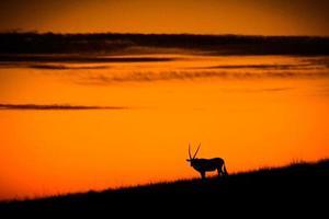 oryx bij de zonsondergang foto