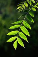 jonge bladeren van de walnoot met achtergrondverlichting foto