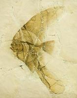 fossiel van een langvinnige vleermuisvis of engelenvis. foto