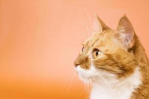 nieuwsgierige kat op zoek. kopieer ruimte foto
