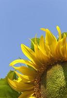 zonnebloem op sky - achtergrond wens kopie ruimte foto