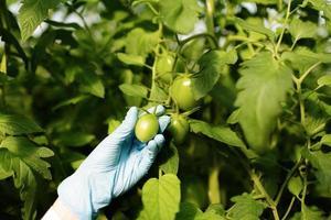 voedselwetenschapper die tomaten in serre tonen foto