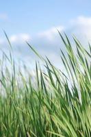 kleurrijke hoog groen gras in de zomer met een kopie ruimte foto