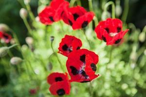 veel rode papaver bloemen in de zomer. met kopie ruimte foto