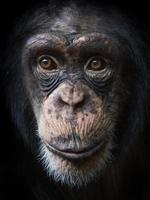 gewone chimpansee (panholbewoners) foto