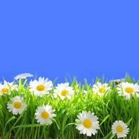 witte bloemen met gras en exemplaar-ruimte op blauwe achtergrond foto