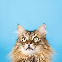 grappige pluizige kat die omhoog exemplaarruimte bekijkt foto