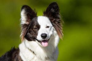 vrolijke en lachende welsh corgi hond foto