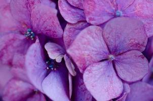 hortensia close-up # 1 foto