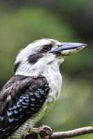 close up van een lachende kookaburra foto