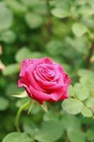sluit roze bloem foto
