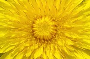 gele paardebloem close-up foto