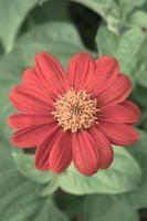 rode bloemclose-up