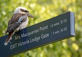 lachende kookaburra-vogel, sydney, nieuw zuid-wales, australië foto