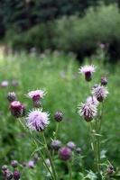 bos bloem close-up foto