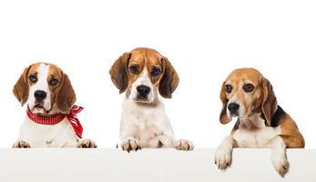 drie beagles foto