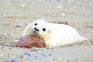 baby grijze zeehond (halichoerus grypus) ontspannen op het strand foto