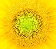 zonnebloem close-up achtergrond. foto