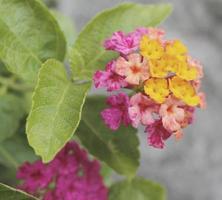 close up lantana camara foto